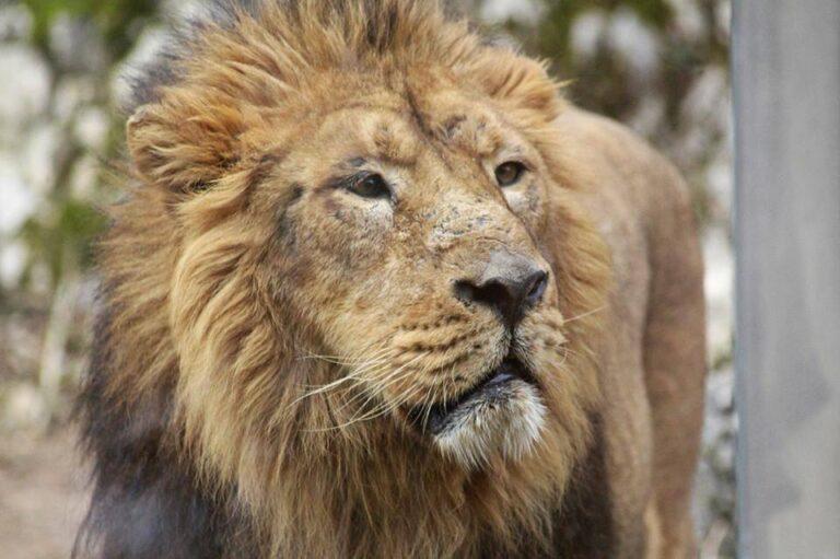 Lion Tejas